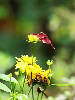 Dragonfly, Red, Crimson, Yellow, Flower, Bunch, Single