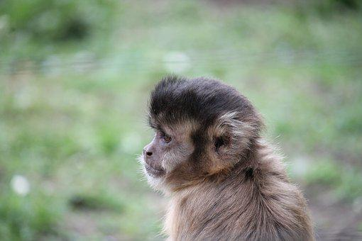 Monkey, Squirrel Monkey, äffchen, Mammal, Climb, Cute