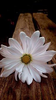 Daisy, White Daisy, Flower, Bloom, White, Daisies