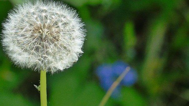 Dandelion, Flower, Nature, Plants, Spring, White