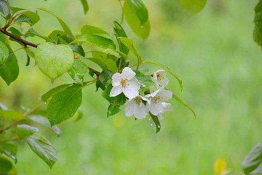 Apple Tree, Tree, Nature, After The Rain, Rain, Drops