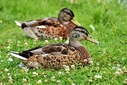 Duck, Bird, Water Bird, Mallard, Bill, Head, Platypus