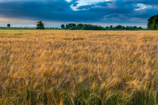 Wheat, Sky, Nature, Field, Cereals, Landscape
