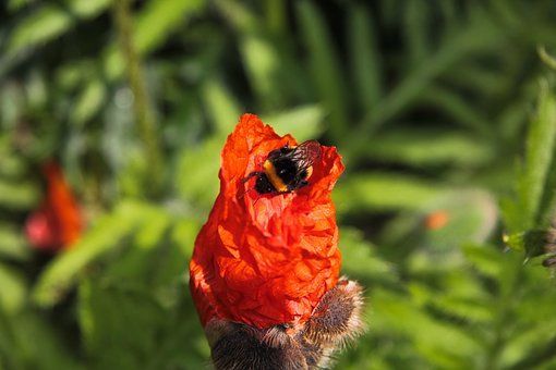 Bumble Bee, Red Poppy, Garden, Flower, Flora, Insect