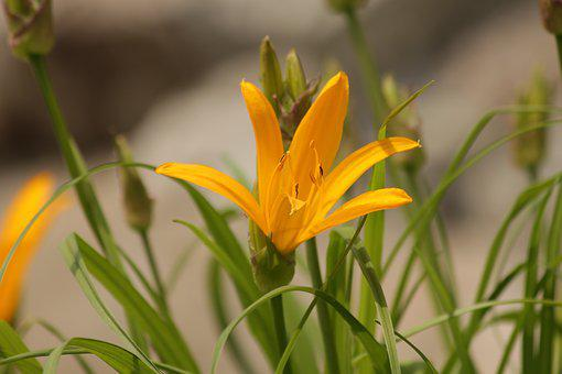 Saranka, Lily, Flower, Beautiful, Nature, Yellow