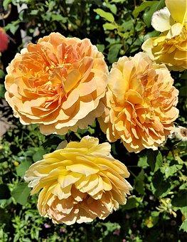 Rose, Flower, Bloom, Flora, Orange