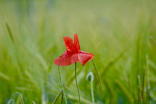 Nature, Poppy, Flower, Summer, Red, Field, Petals