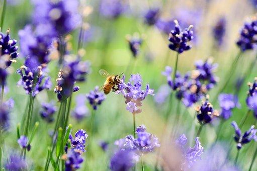 Natural, Landscape, Flower Garden, Lavender, Bee