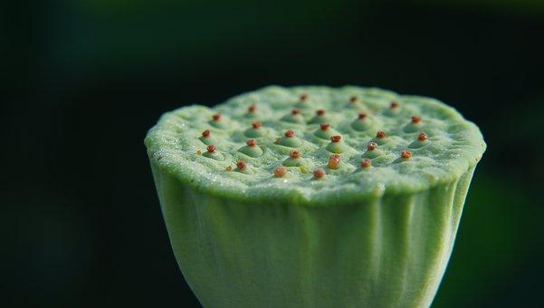 Lotus, Flower, Macro