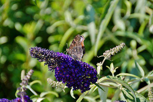 Butterfly, Flower, Kumule, David, Summer, Insect