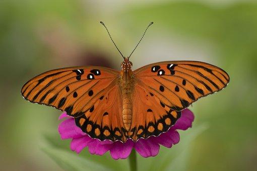 Gulf Fritillary, Butterfly, Zinnia, Flowers, Orange