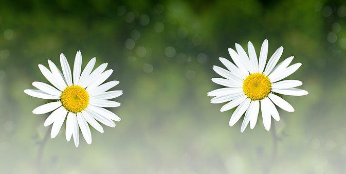 Daisies, Two, Flowers, White, White Flowers, Nature