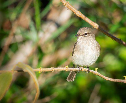 African Dusky Flycatcher, Bird, Avian, Flycatcher