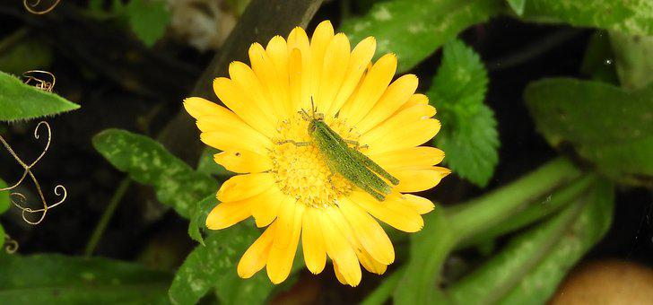 Insect, Cricket, Flower, Garden, Colombia