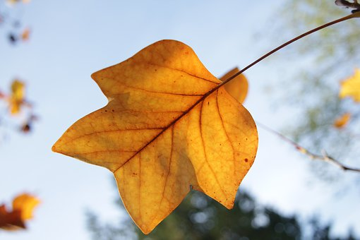 Tulip Tree Leaf, Leaf, Autumn, Golden, Sky