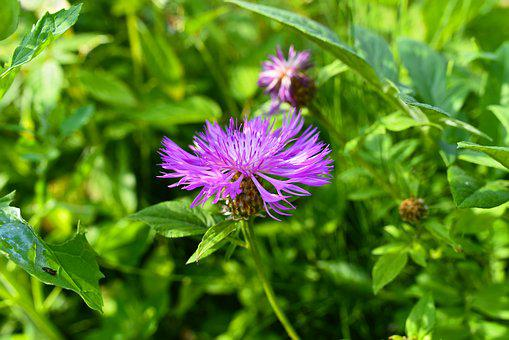 Greater Knapweed, Plant, Flower, Perennial