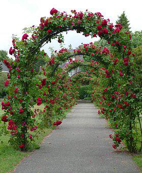Rose, Port, Rozenhaag, Plant, Flora, Red, Path, Hiking