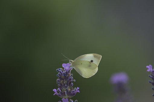 Butterfly, White, Insect, Nature, Summer, Animal