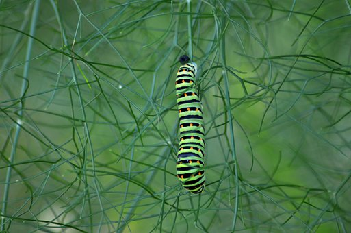 Caterpillar, Butterfly, Fennel, Nature, Insects, Summer
