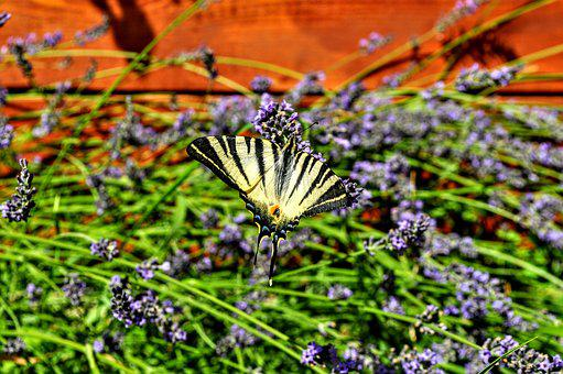 Lavender, Butterfly, Nature, Garden, Purple, Macro