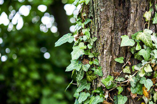 Tree, Ivy, Nature, Bark, Plant, Forest, Log, Green