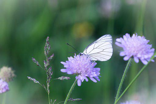 Butterfly, White, White Butterfly, Flower, Meadow