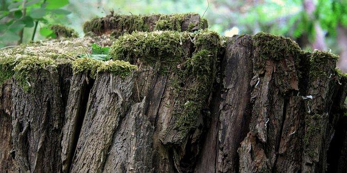 Trunk, Old Tree, Próchniejący Stock, Moss
