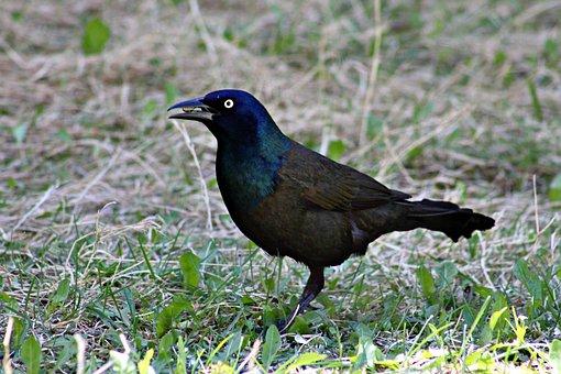 Grackle, Bird, Black, Eye, Nature, Wildlife, Beak
