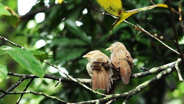 Bird, Avian, Pair, Brown, Babbler, Nature, Beak
