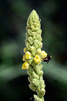 Mullein, Flower, Nature, Plant, Yellow, Flowers