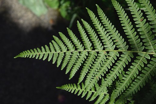 Fern, Leaf, Plant, Green, Leaves, Nature, Growth