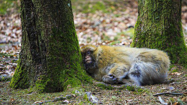 Monkey, Sleep, Tired, Forest, Nature, Rest