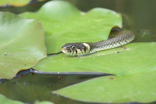 Adder, Snake, Pond, Water, Nature, Reptile, Animal