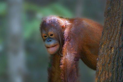 Animal, Orangutan, Borneo, Rain Forest, Ape, Primate