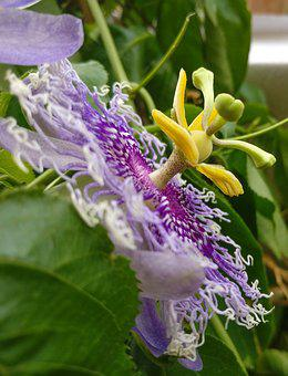 Flower, Passion, Passion Flower, Passiflora