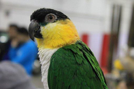 Bird, Parrot, Caique, Black, Black Headed Caique, Pet