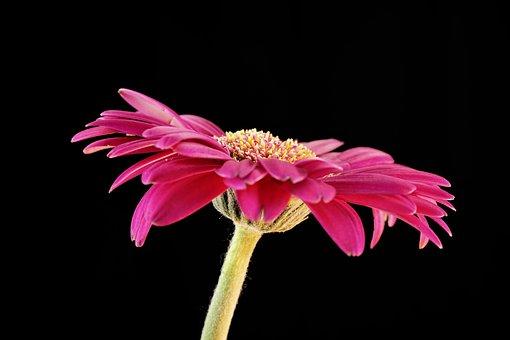 Gerbera, Flower, Blossom, Bloom, Love, Nature, Pink