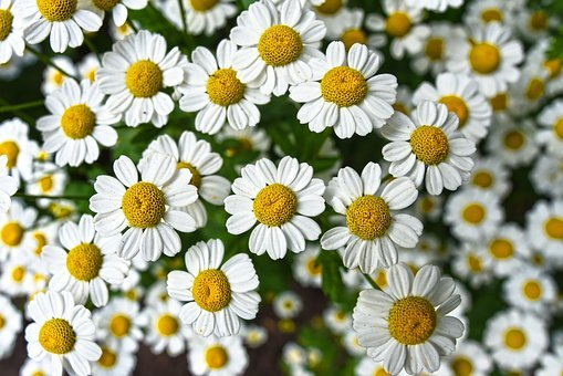 Chamomile, Flower, Plant, Bloom, Herbal, Infusion, Tea