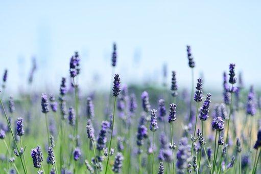 Natural, Landscape, Flower Garden, Lavender, Plant