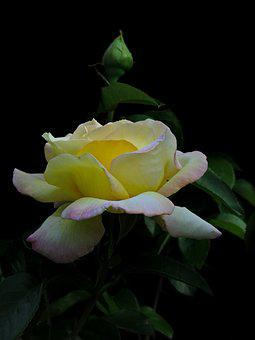 Rose, Yellow, Flower, Nature, Blossom, Bloom, Plant
