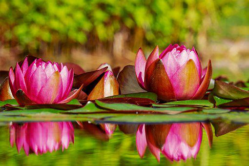 Water Lilies, Flowers, Bloom, Nature, Pond, Blossom