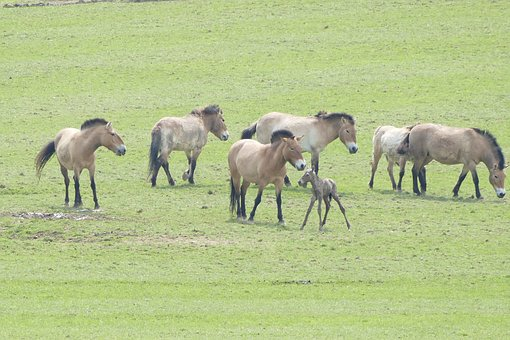 Ardennes, Rochefort, Zoo Han, Przewalski Horses, Birth
