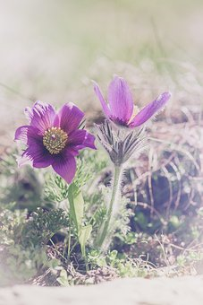 Anemone, Purple, Purple Anemone, Flower, Purple Flower