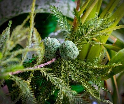 Baldcypress, Deciduous Conifer, Cones, Round Balls
