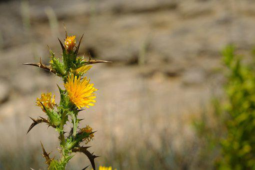 Thistle, Safflower, Carthamus, Asteraceae Weeds