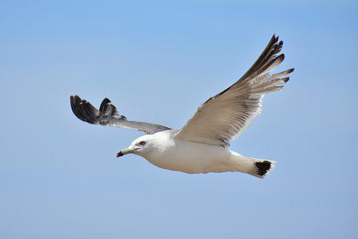 Animal, Sky, Sea, Bird, Wild Birds, Sea Gull, Seagull