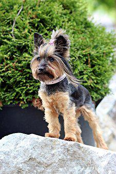 Yorkshire Terrier, Small Dog, Dog, Rock