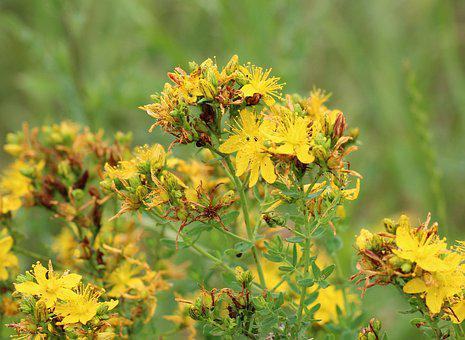 St John's Wort, Herb, Plant, Yellow, Flowers, Flora
