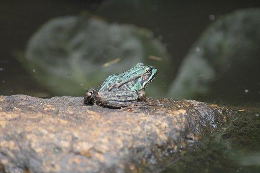 Frog, Pond, Stone, Animal, Nature, Garden Pond