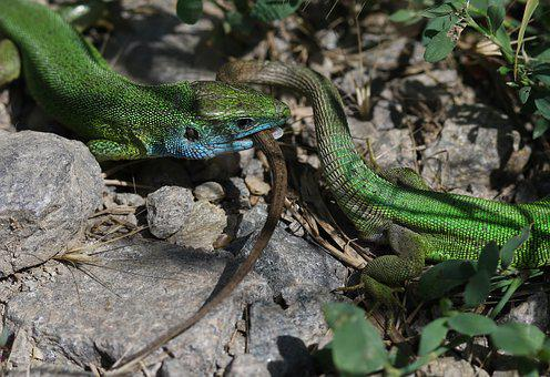 The Lizard, Green, Struggle, Two, Pair, Reptile